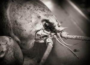 Lobster B&W